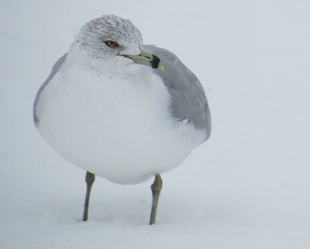 Ring-billed Gull_8476