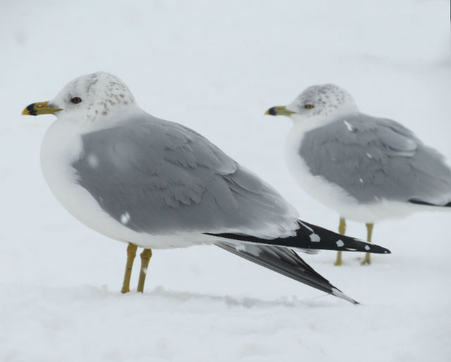 Ring-billed Gull_8482