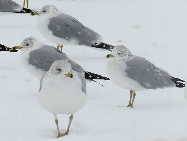 Ring-billed Gull_8484