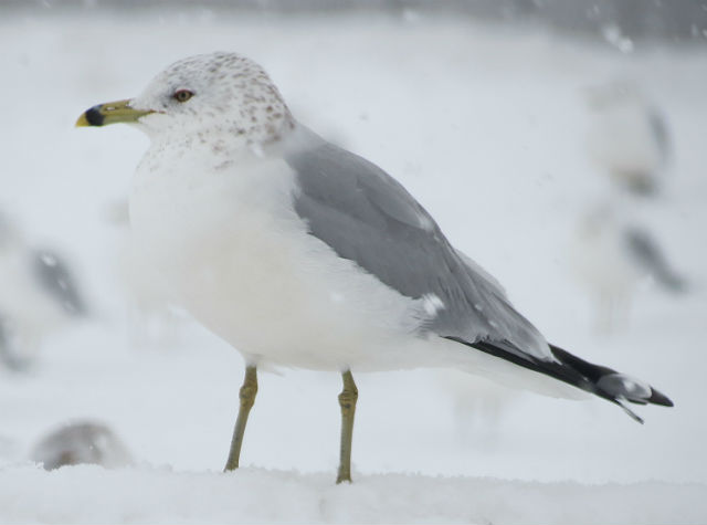 Ring-billed Gull_8506