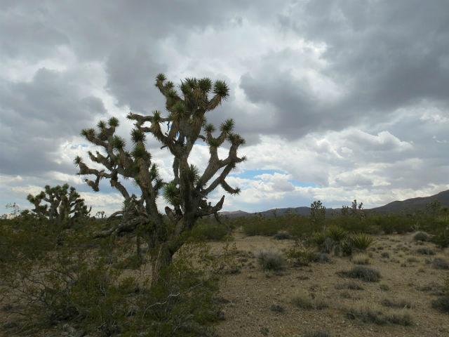 desert banded gecko_1389