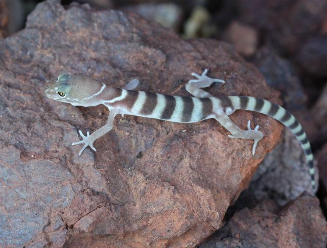 desert banded gecko_9743