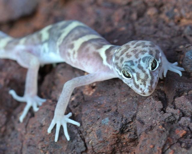 desert banded gecko_9748