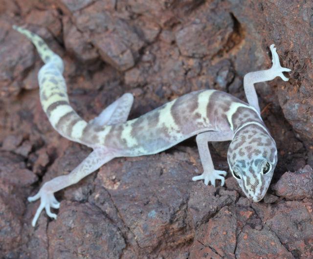 desert banded gecko_9753