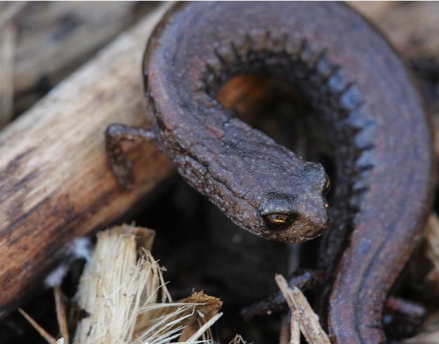 slender salamander  003