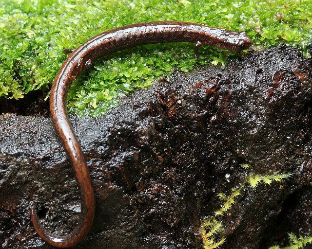 slender salamander  092