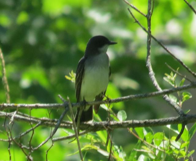 eastern kingbird_2375