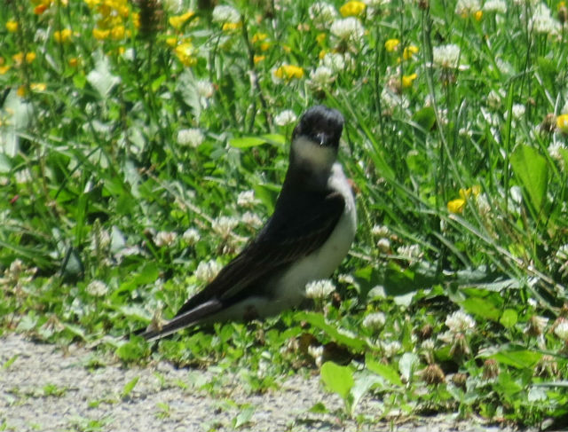 eastern kingbird_2391