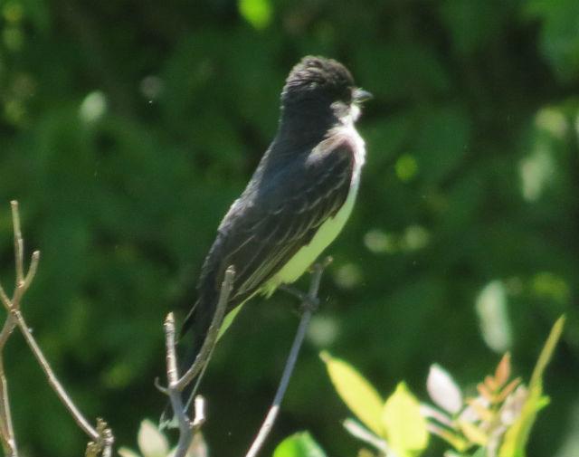 eastern kingbird_2392
