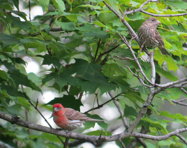 house finch_3305
