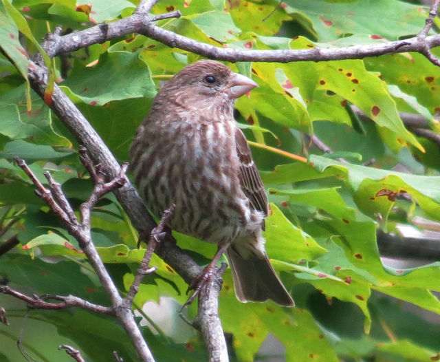 house finch_3312