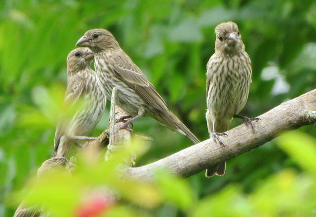 house finches_1847