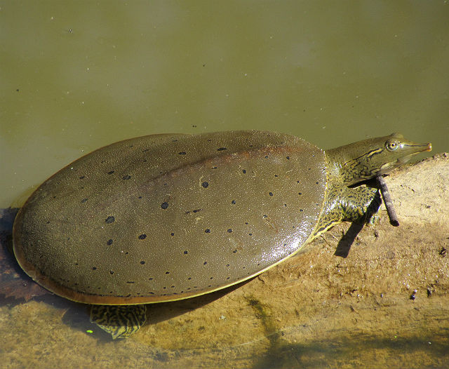 spiny softshell_3683