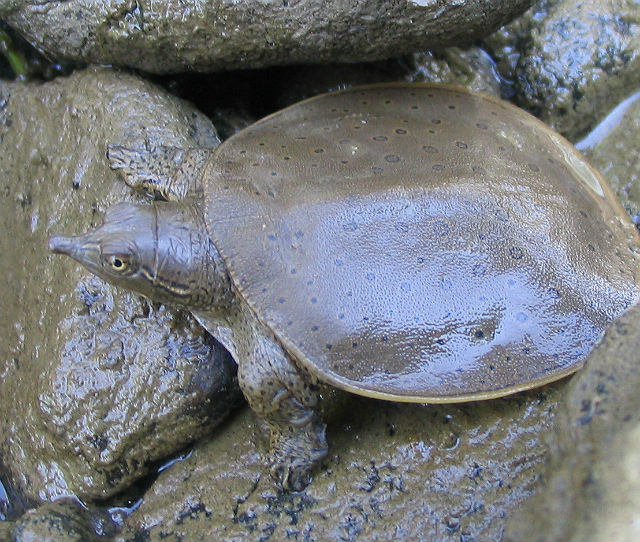spiny softshell_5507
