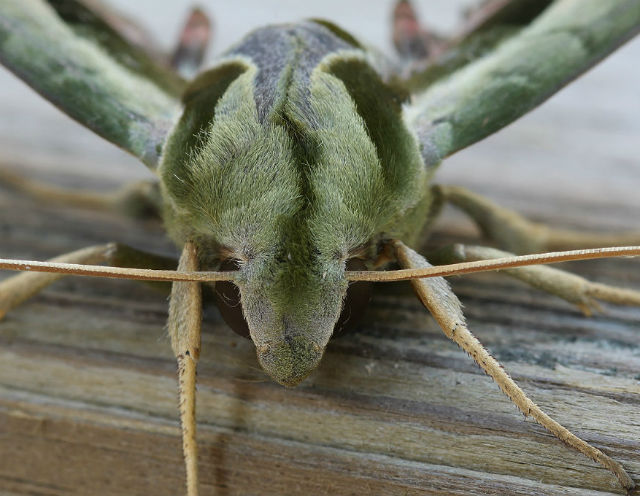 Pandora Sphinx Moth_2685