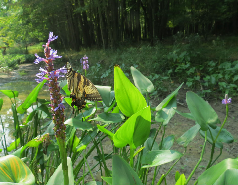 Pickerel Weed_4790