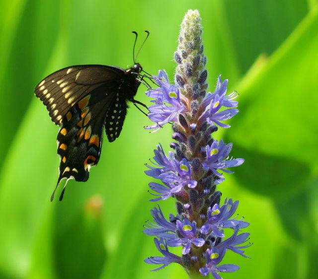 swallowtail_6276