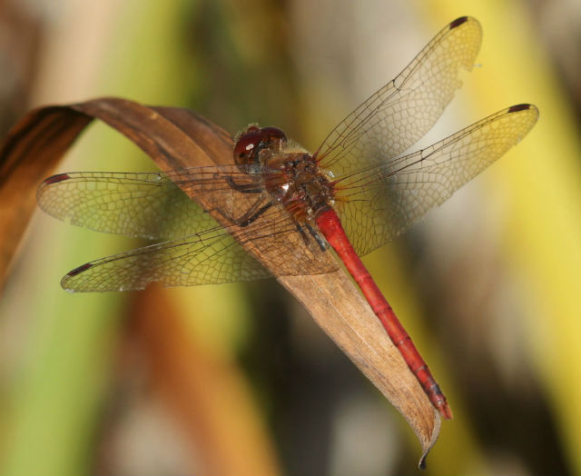 autumn meadowhawk_3782