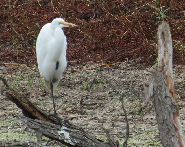 great egret_5654