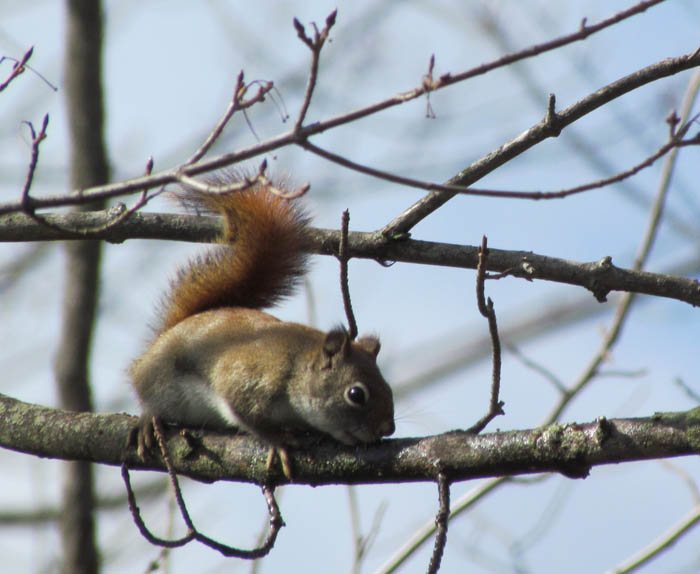 red squirrel 0988