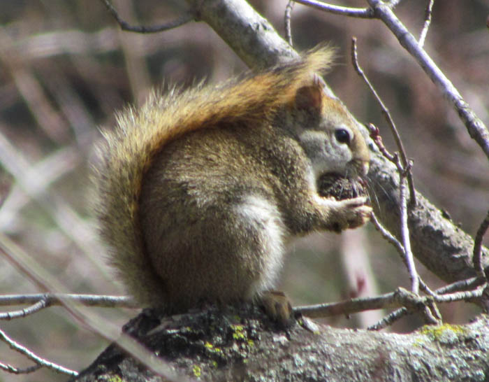 red squirrel 1421