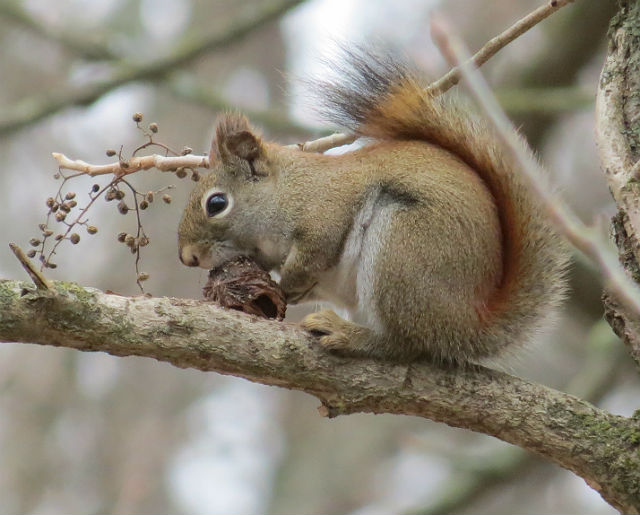 red squirrel 7276