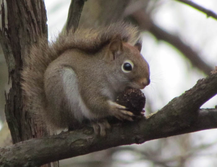red squirrel 9574
