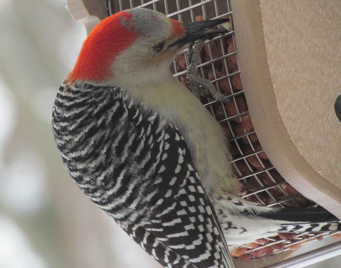 Red-belly Woodpecker_9764