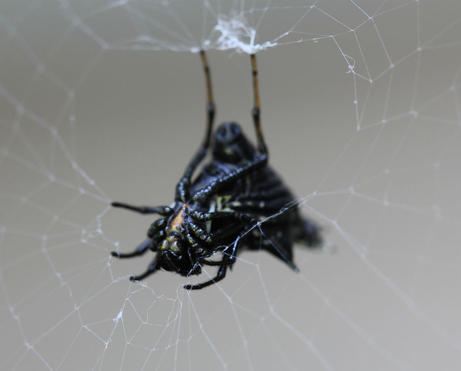 Spined Micrathena_2172