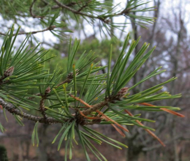 Virginia Pine_7671