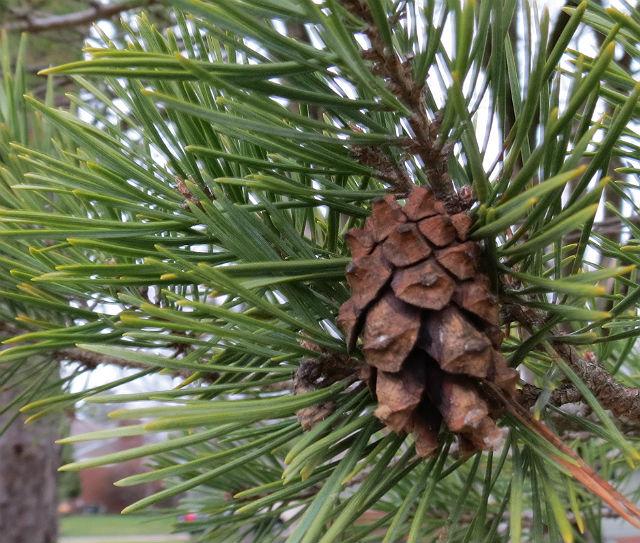 Virginia Pine_7767