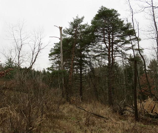 Virginia Pine_7783