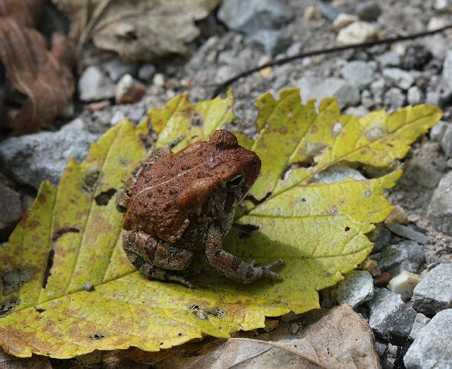 dwarf american toad_3248