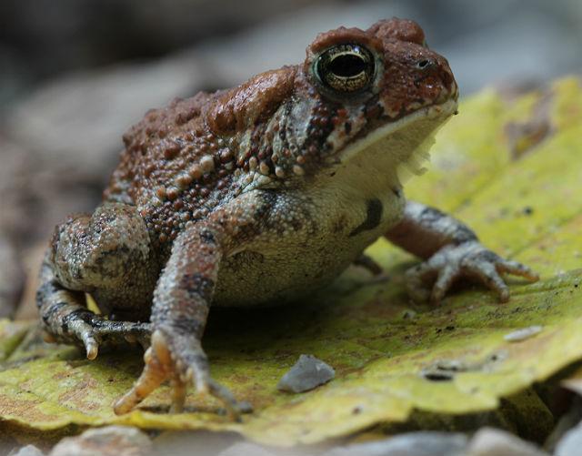 dwarf american toad_3252