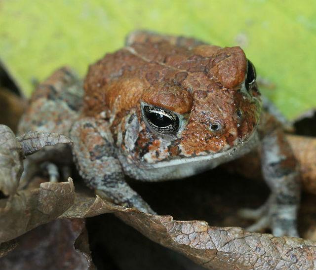 dwarf american toad_3253
