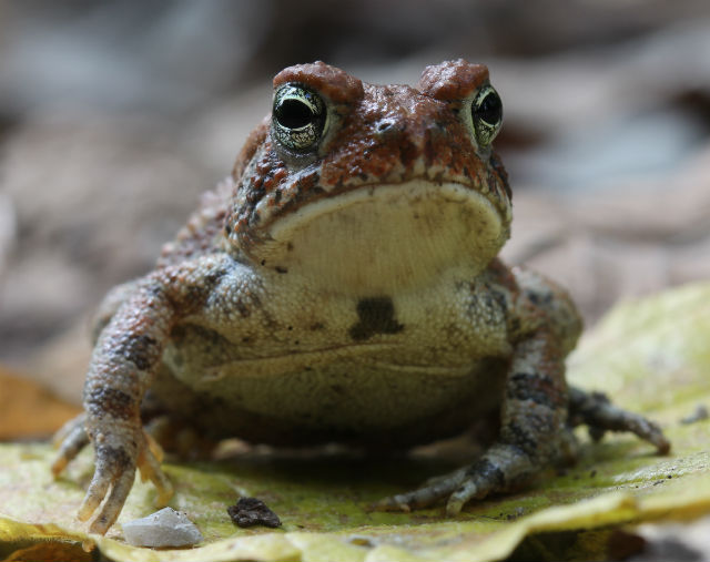 dwarf american toad_3254