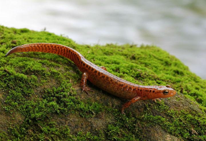 longtail salamander 0004