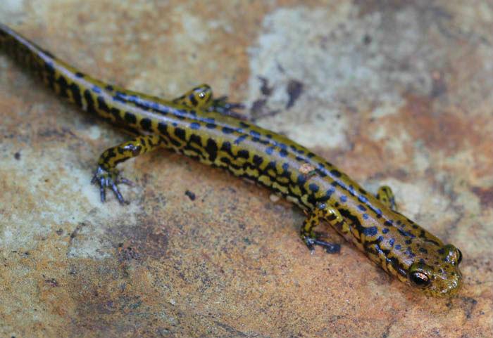 longtail salamander 12