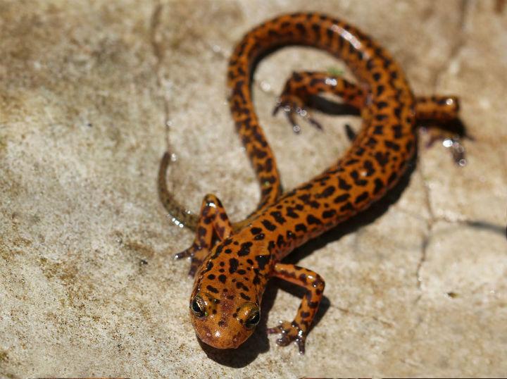 longtail salamander 20061