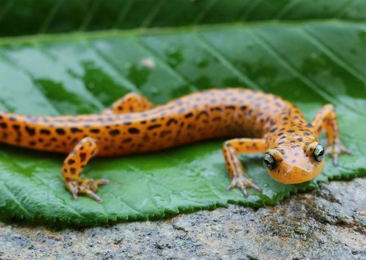 longtail salamander 9002