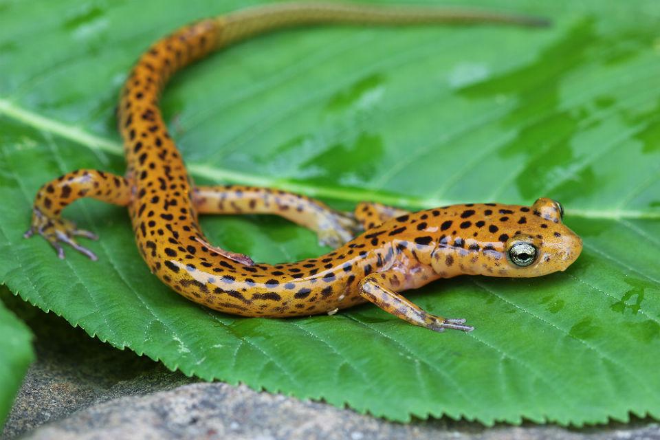 longtail salamander 98