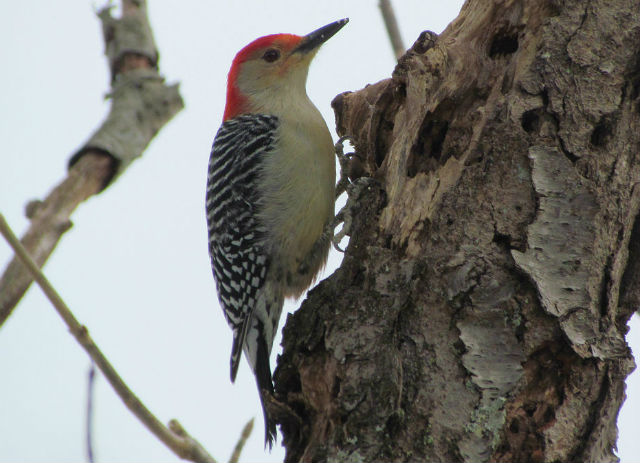 red-bellied woodpecker_2228