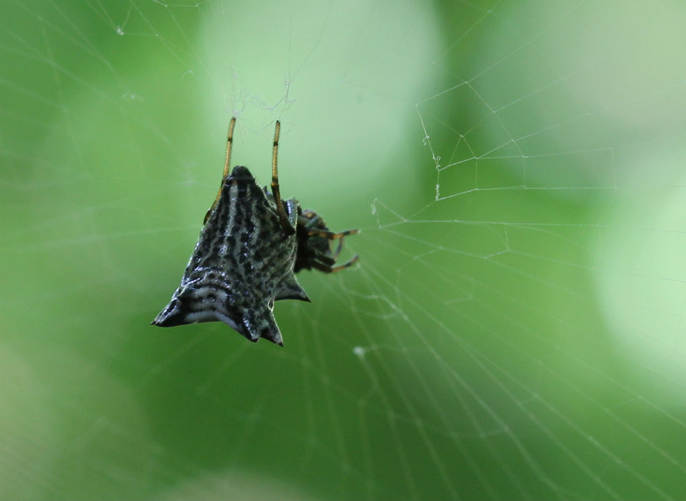 spined micrathena_09c