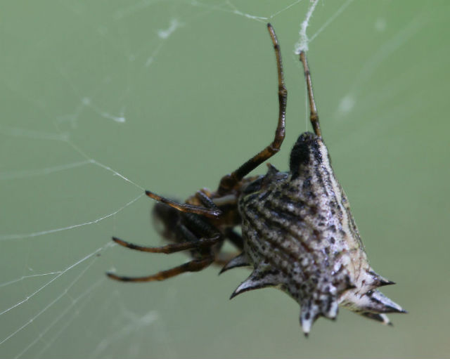 spined micrathena_1299a