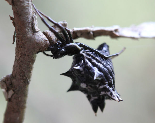 spined micrathena_3686
