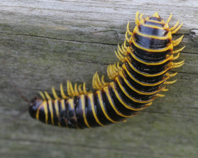 Black and Yellow Flat Millipede 001