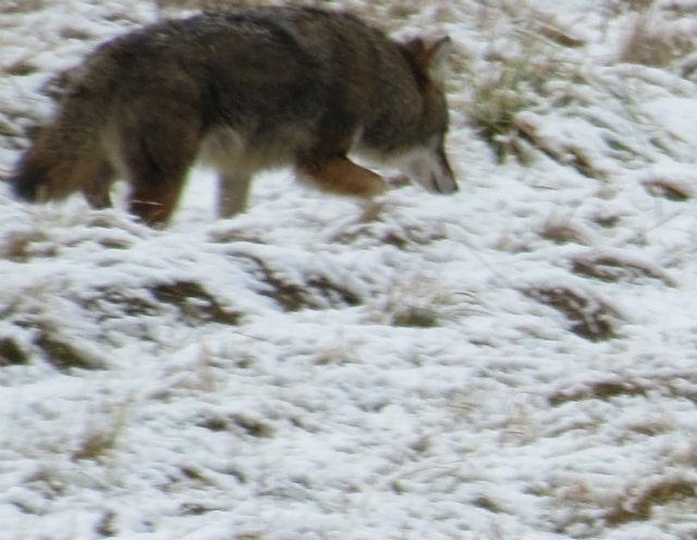 coyote_8822