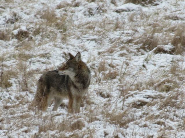 coyote_8823