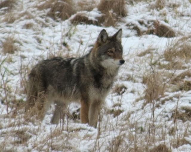 coyote_8828