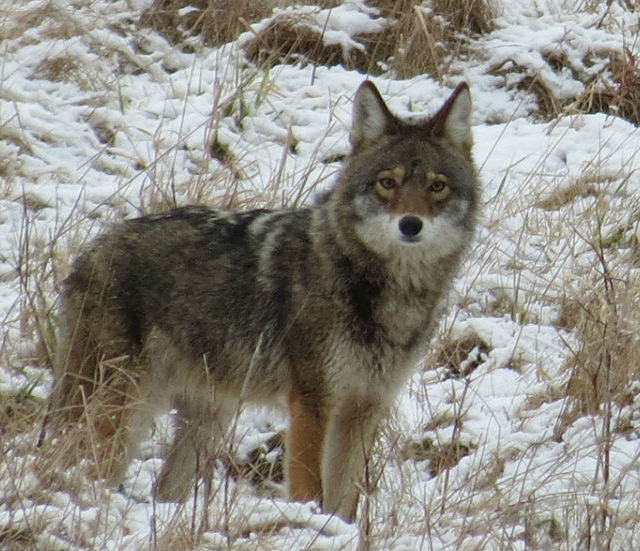 coyote_8830